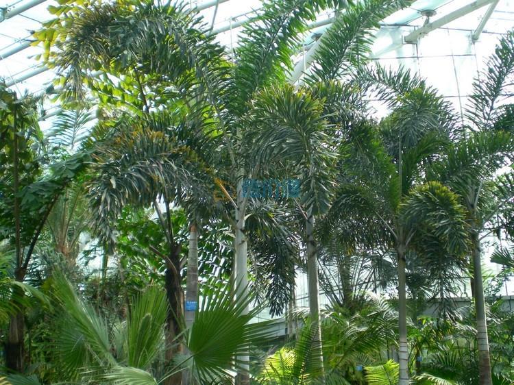 狐尾椰子图片