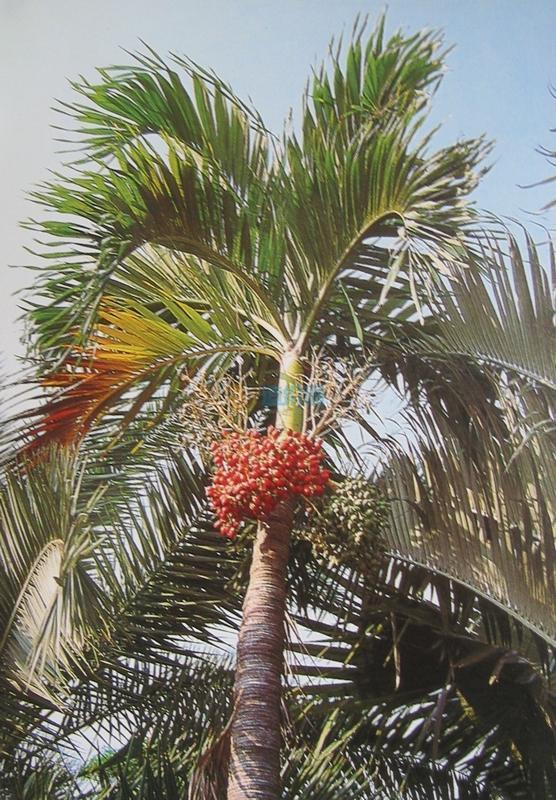 圣诞椰子图片