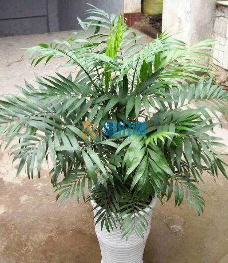 袖珍椰子圖片
