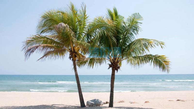 糖椰子图片