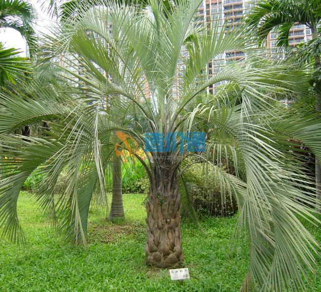 耐寒棕榈图片
