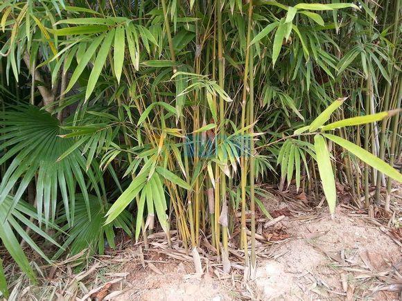 茶杆竹图片