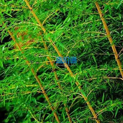 钓鱼竹图片