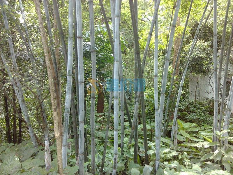 粉单竹图片