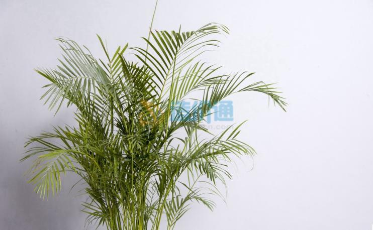 凤尾竹图片