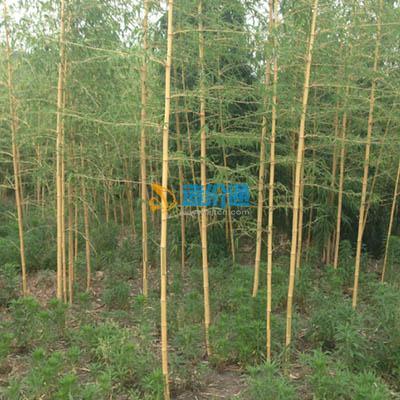 黄杆乌哺鸡竹图片