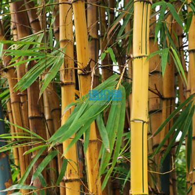 菲黄竹图片