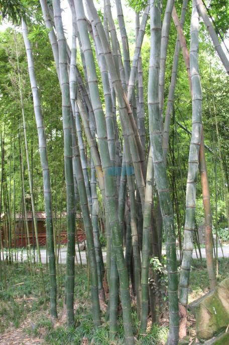 龙胆竹图片