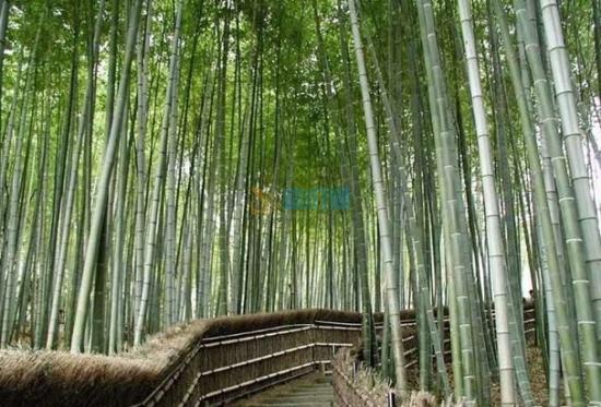 四季竹图片