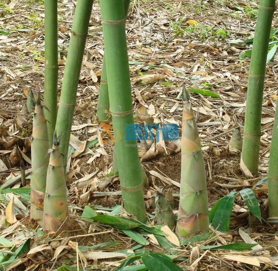 绿竹笋(甜竹)图片