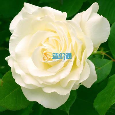 白玫瑰图片