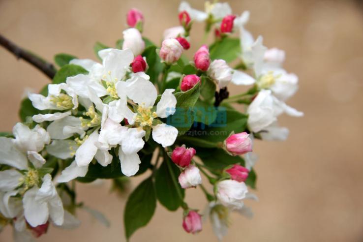 宝石海棠图片