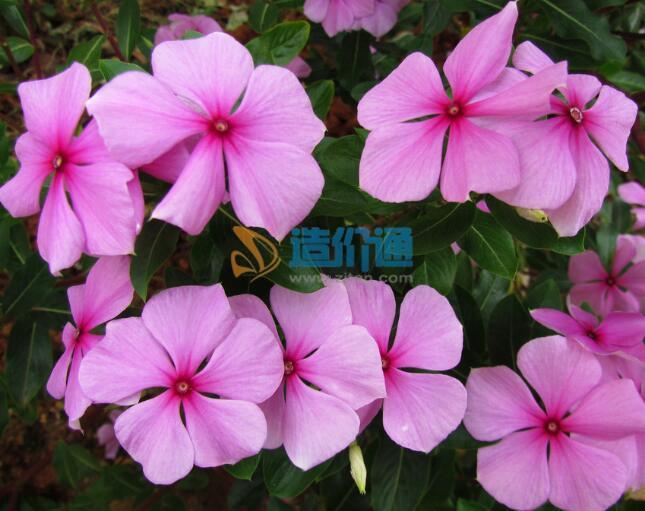 (1)花卉种类:长春花图片