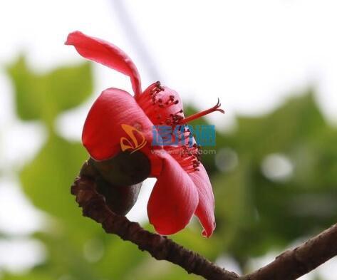 春紅花圖片