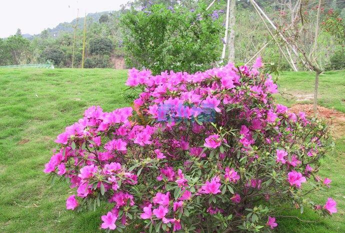 春娟(红花)图片