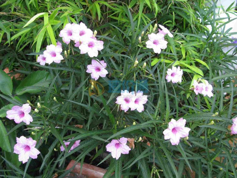 (1)花卉种类:翠芦莉图片