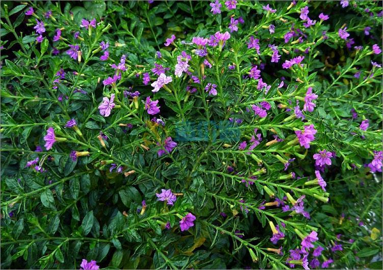 细叶萼距花图片
