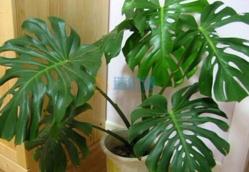 栽植龜背竹圖片