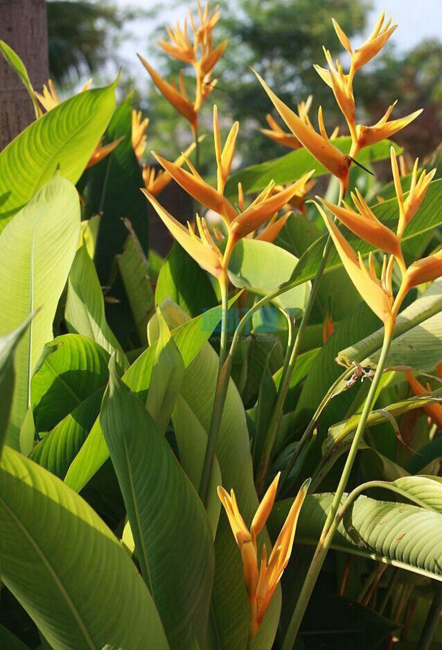 (1)花卉种类:小天堂鸟图片