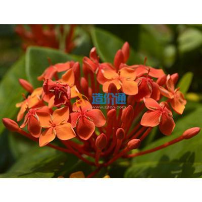 栽植花卉(红花龙船花)图片