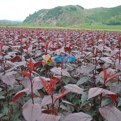 红叶海棠图片