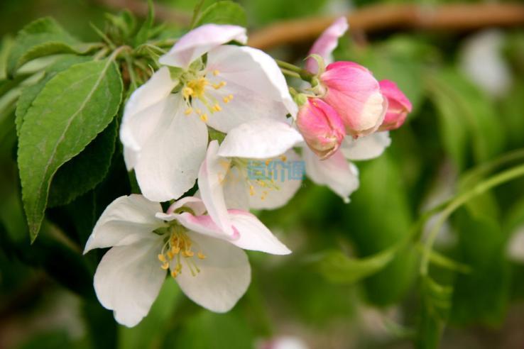 红玉海棠图片