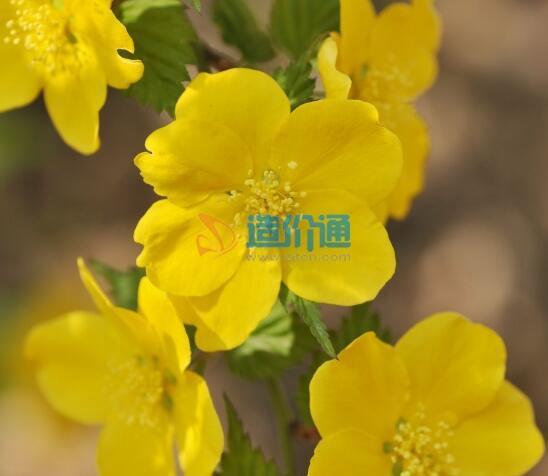 栽植黃棣棠圖片