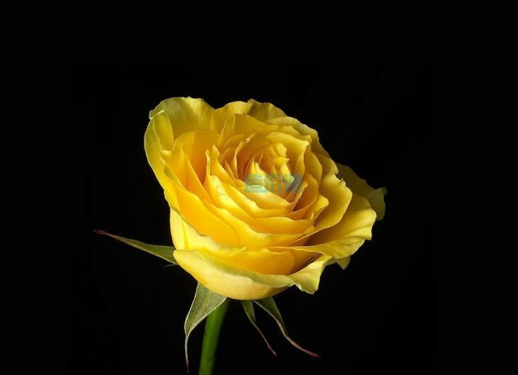 黄玖瑰图片