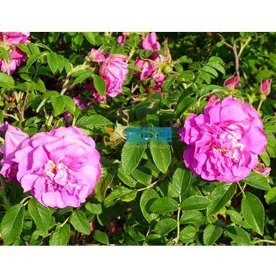 冷香玫瑰图片