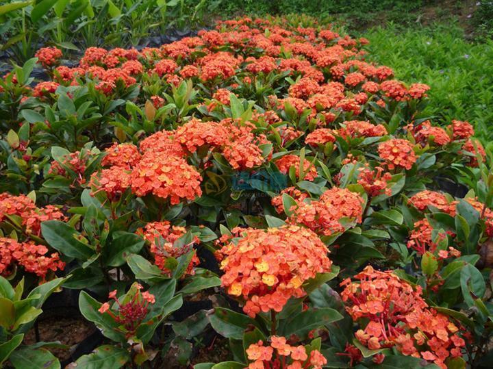 栽植花卉(黄花龙船花)图片