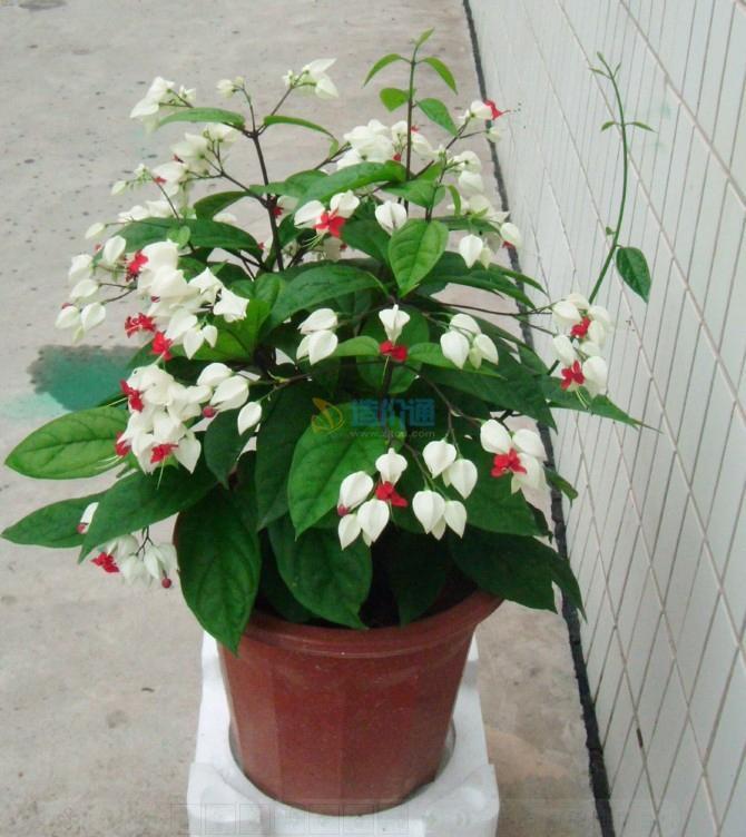 龙吐珠(白花)图片
