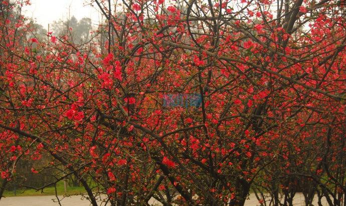 玫瑰树图片