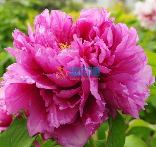 紫牡丹图片
