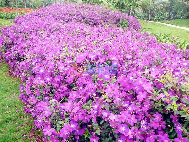艳紫野牡丹图片