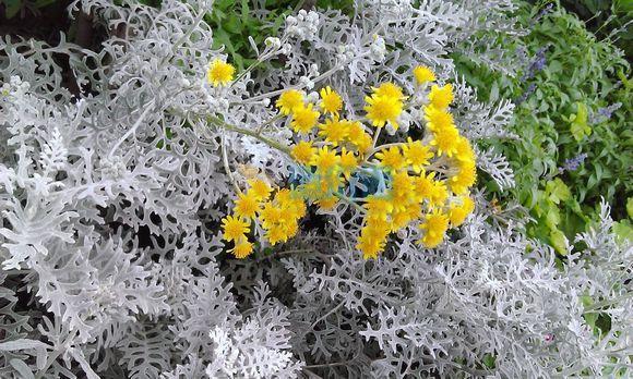 银叶菊图片
