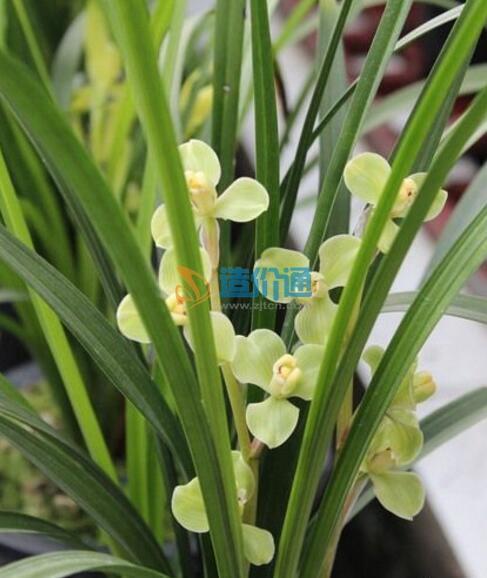 玉族海棠图片