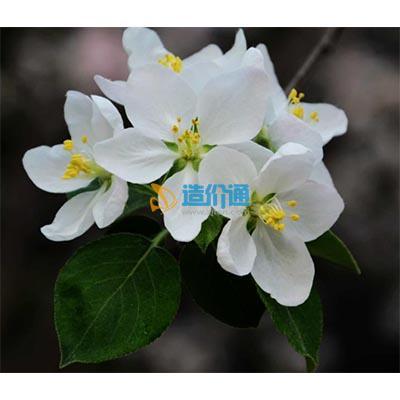 重瓣白海棠图片