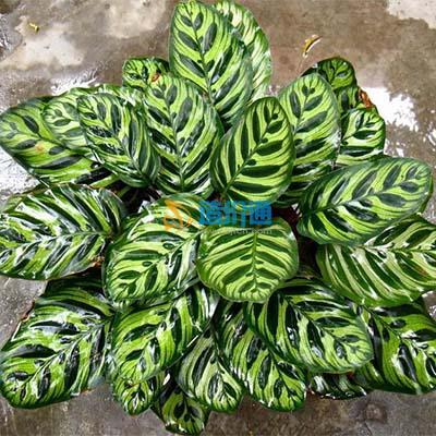 飞羽竹芋图片