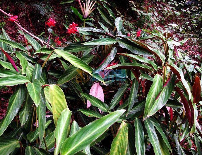 紫背竹芋图片