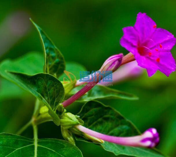 紫茉莉图片